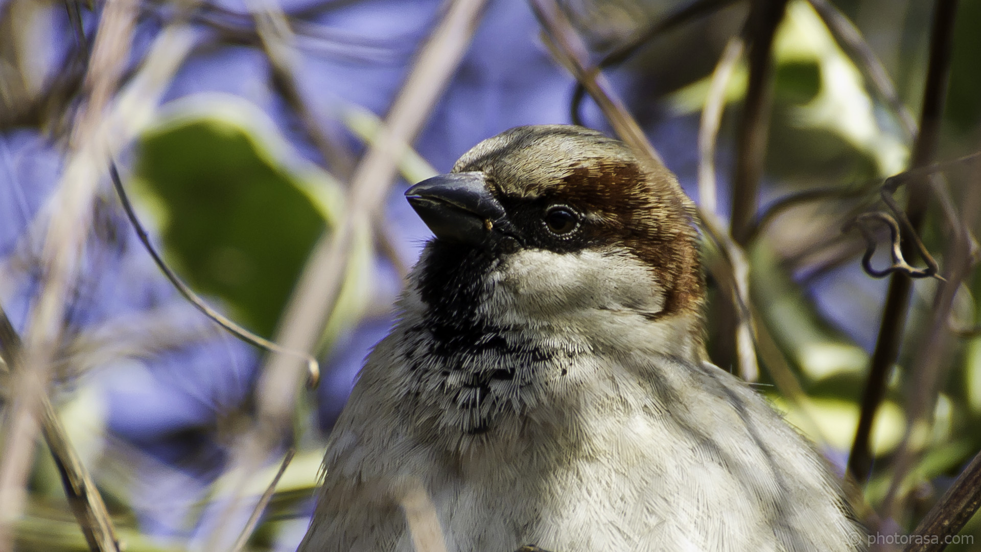 house sparrow close up
