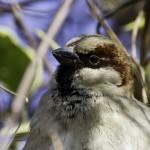 house sparrow close up