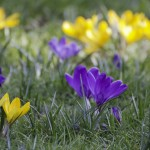 yellow and purple wild crocuses