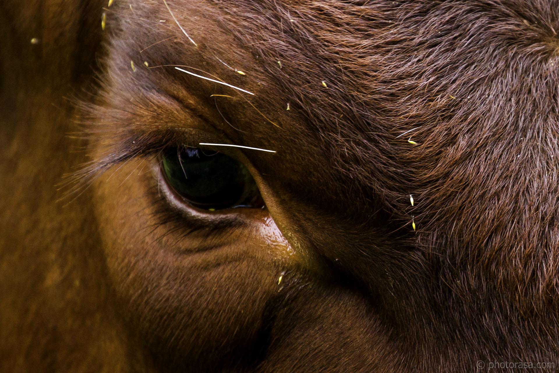eye of brown cow