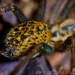 leopard pattern spider abdomen