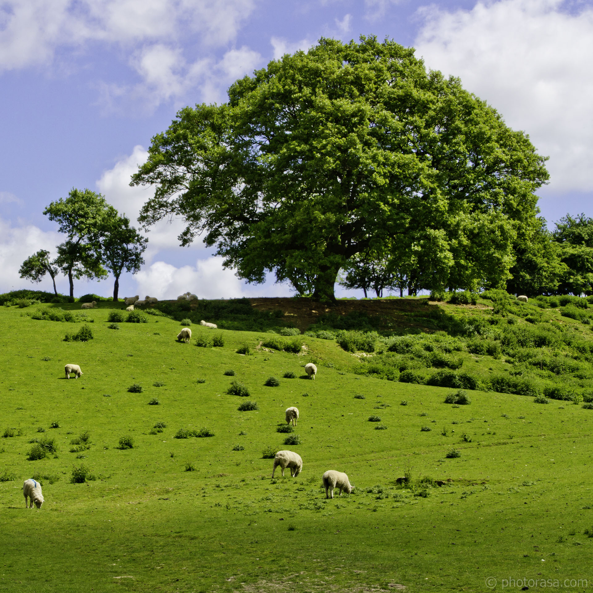 sheep and oak on brow of hill