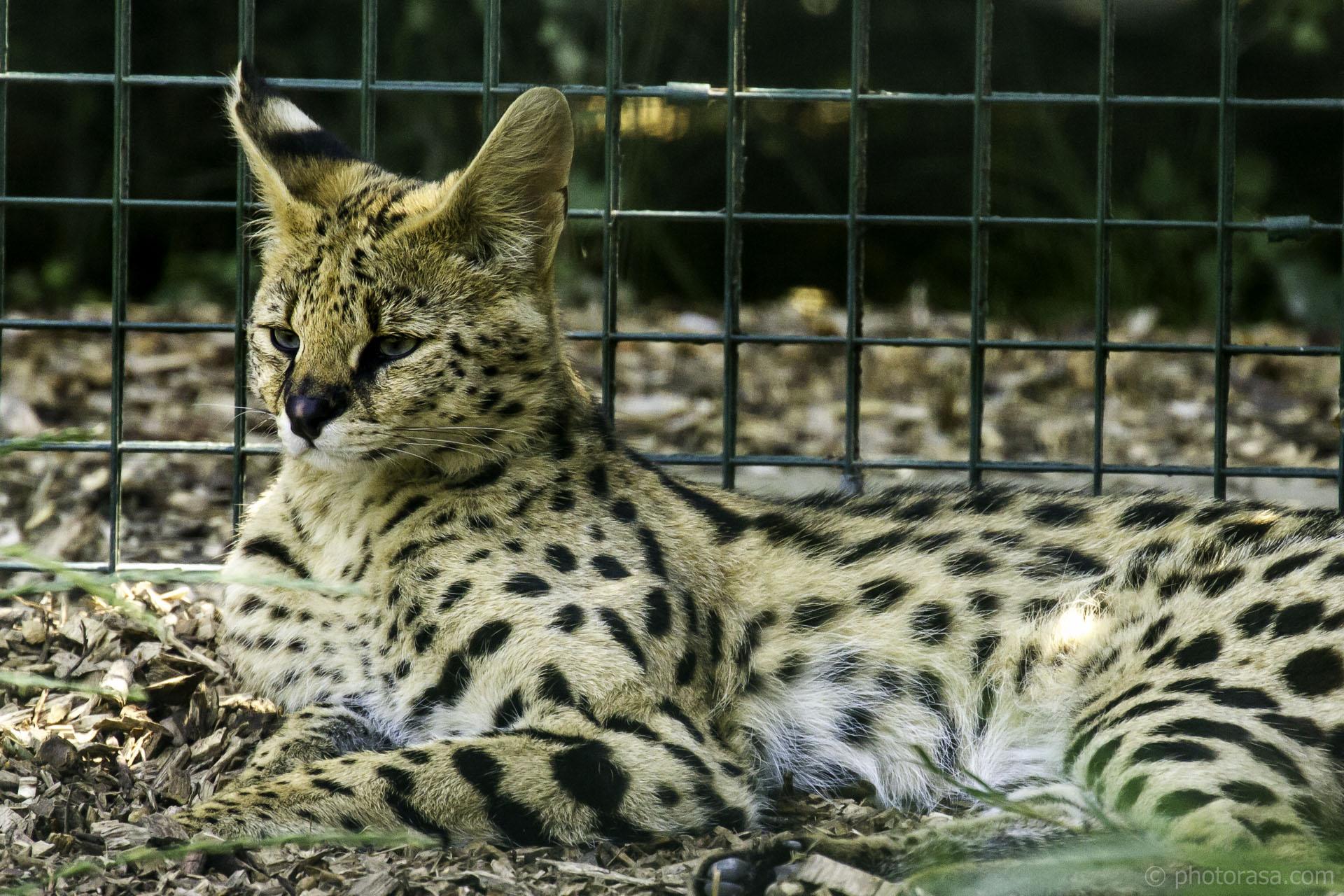 serval relaxing