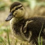 baby duck-4