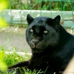 black jaguar looking at camera