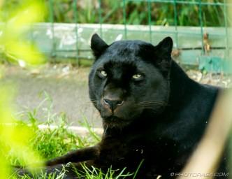 black jaguar looking at camera