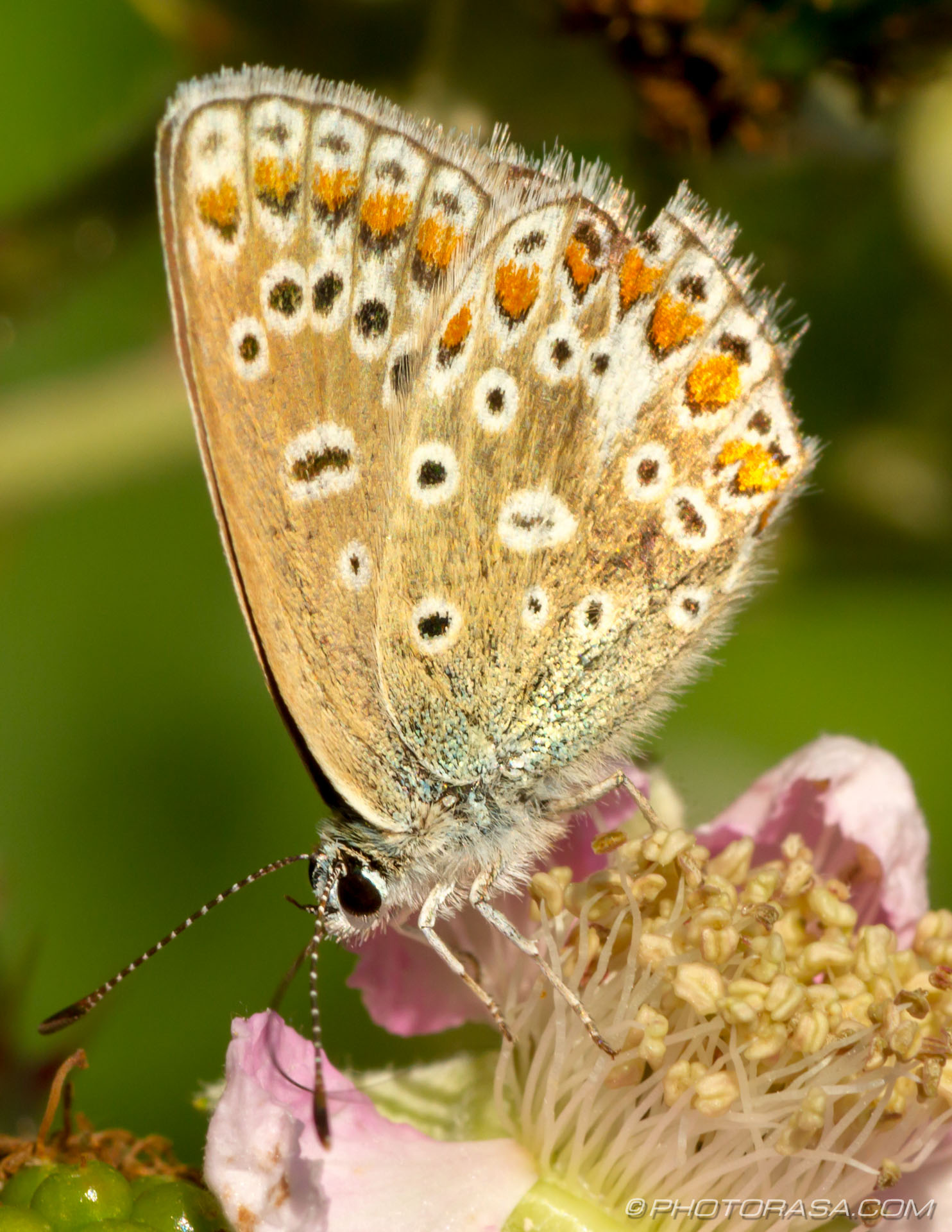 female common blue butterfly underwing
