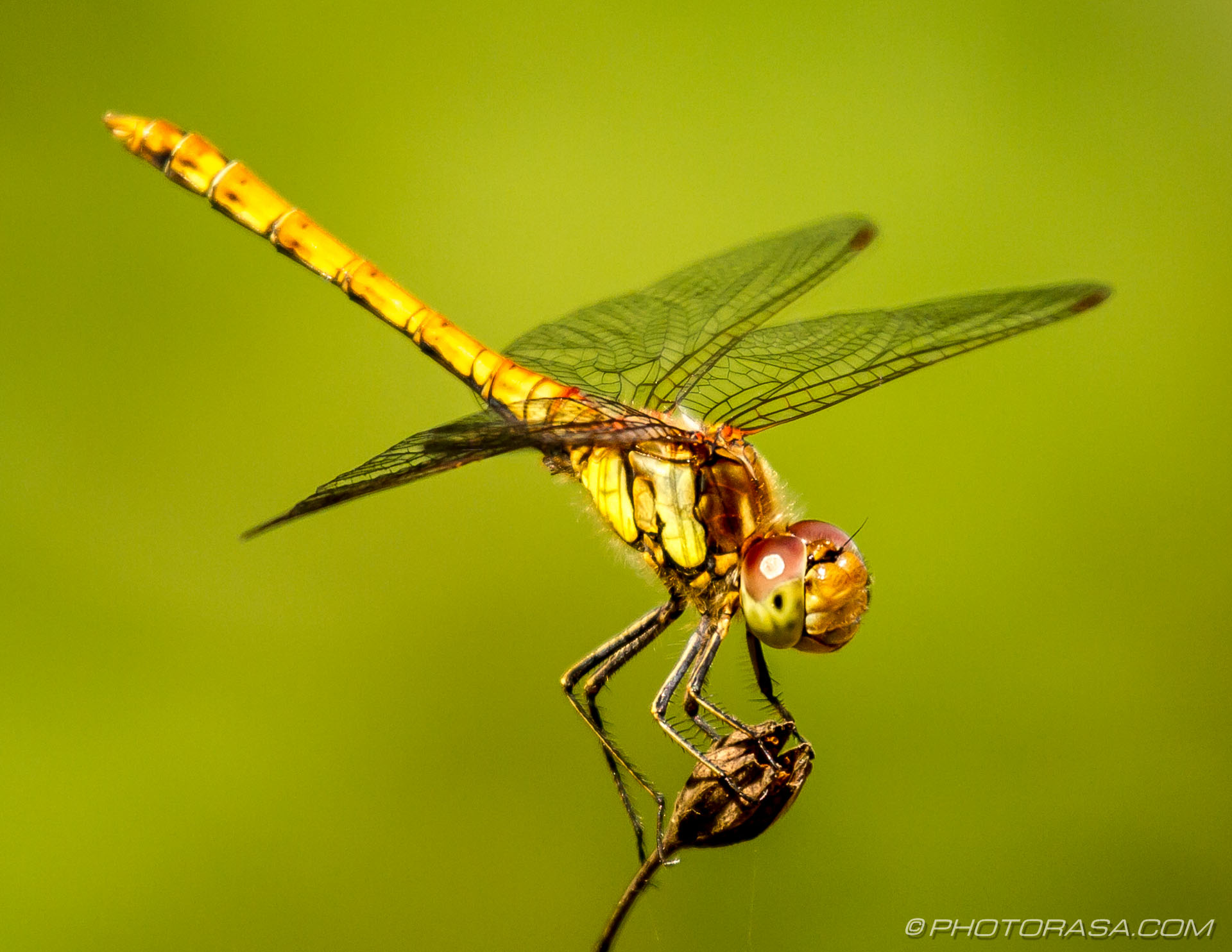 female common darter looking up