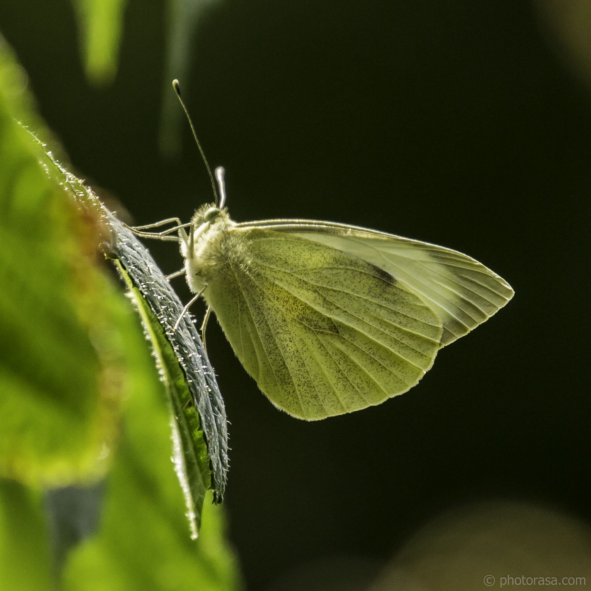 http://photorasa.com/large-white-butterfly-in-sunlight/large-veined-white-butterly/