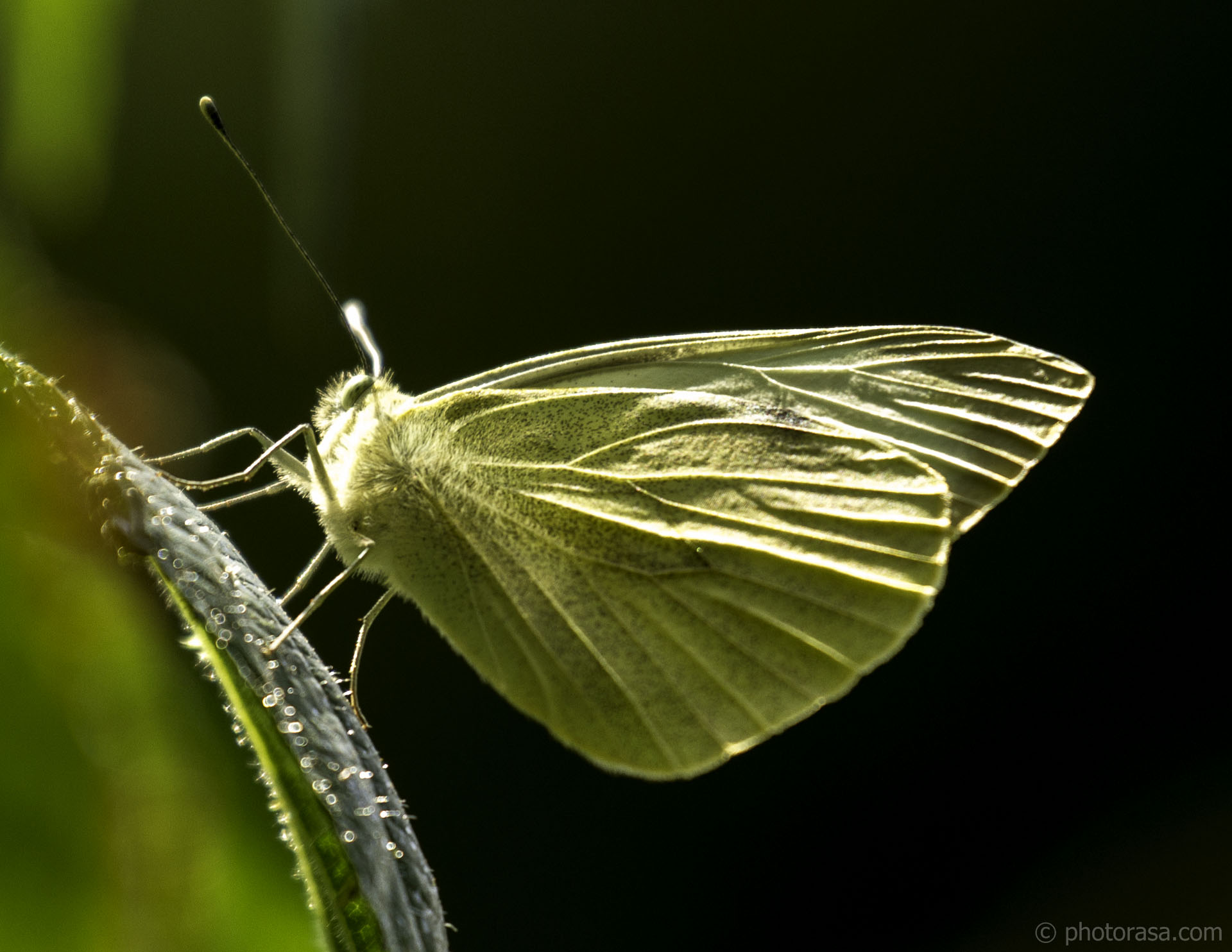 http://photorasa.com/large-white-butterfly-in-sunlight/large-white-butterfly-veins-in-sunlight/