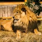 lion sitting on hay