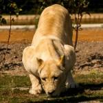 lioness front kneel