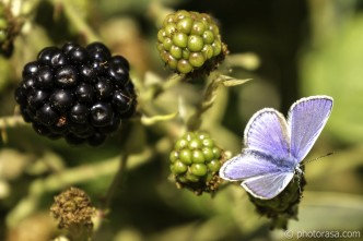 male common blue and blackberry