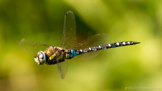 male migrant hawker dragonfly hovering