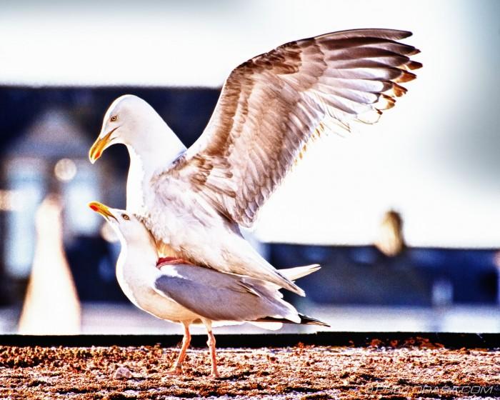seagull ride