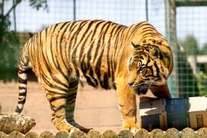 tiger gets food