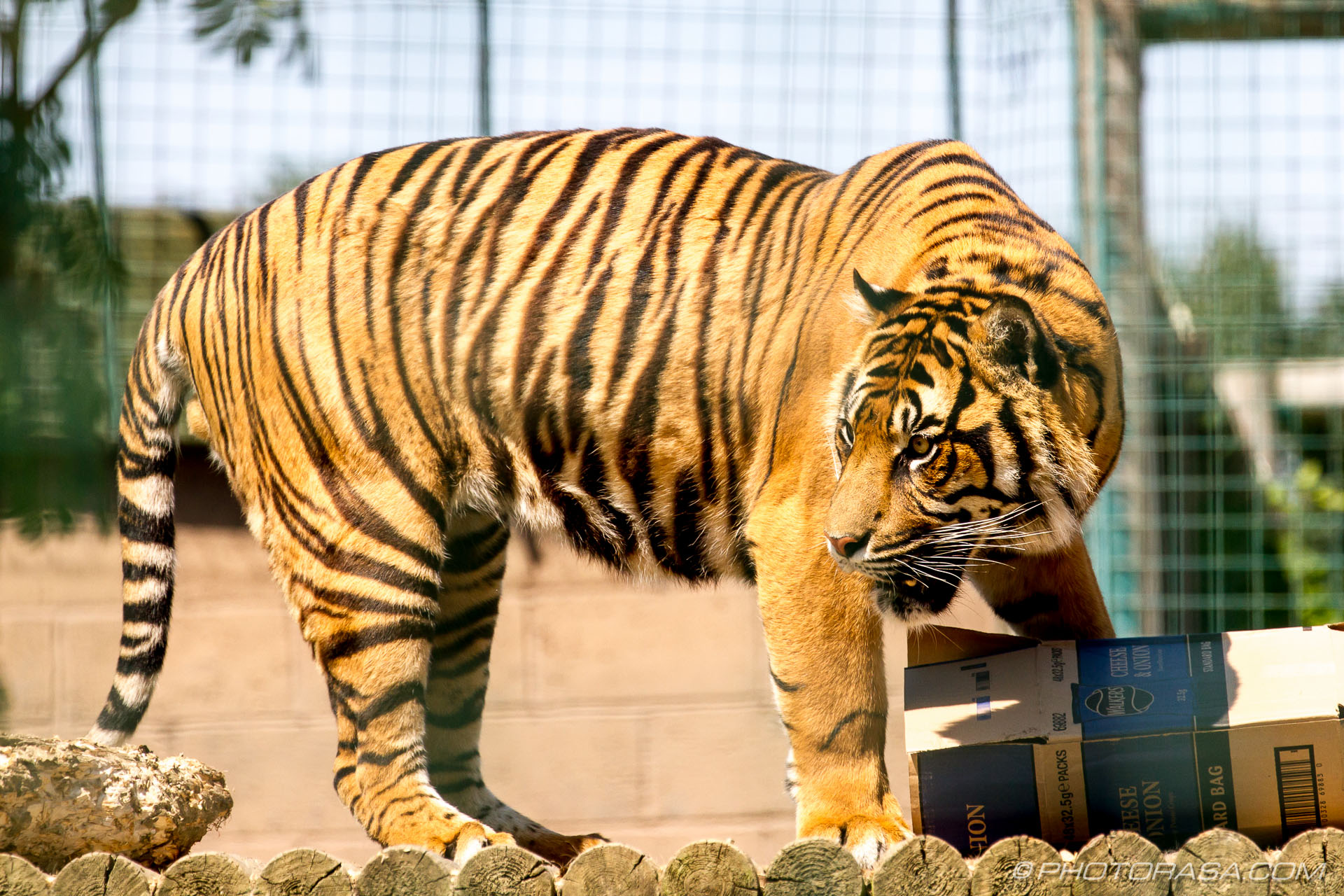 http://photorasa.com/bengal-tiger/tiger-gets-food/