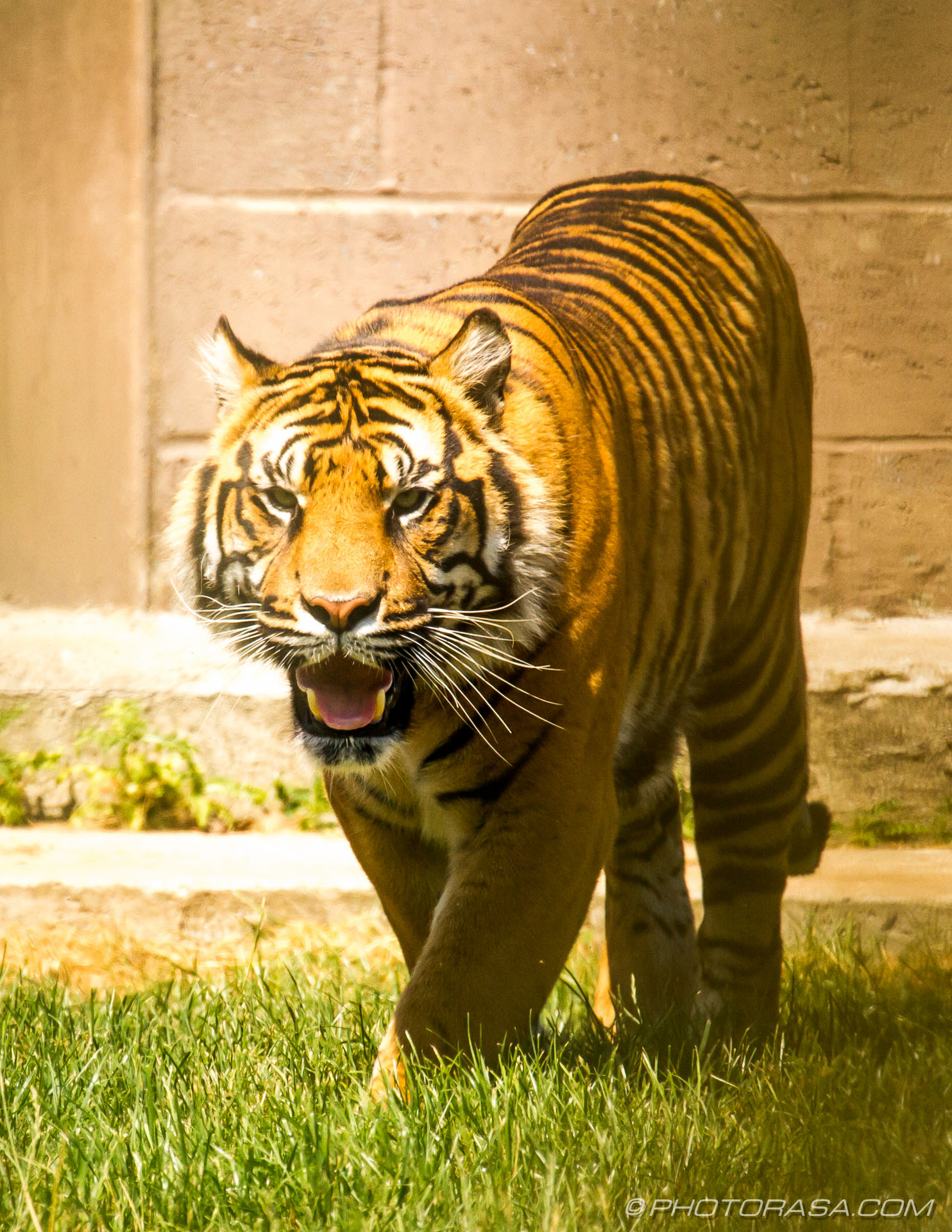 http://photorasa.com/bengal-tiger/tiger-growling/