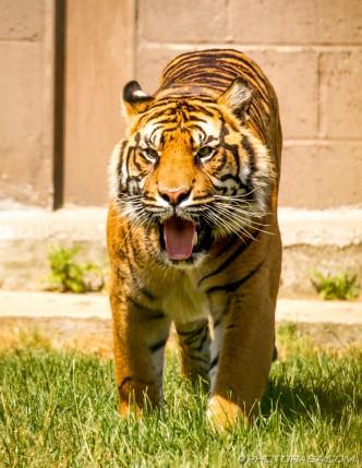 tiger hissing