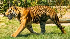 tiger runs to food