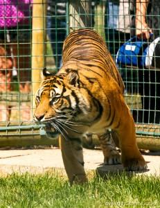 tiger spots food