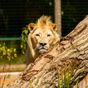 white lion looking over