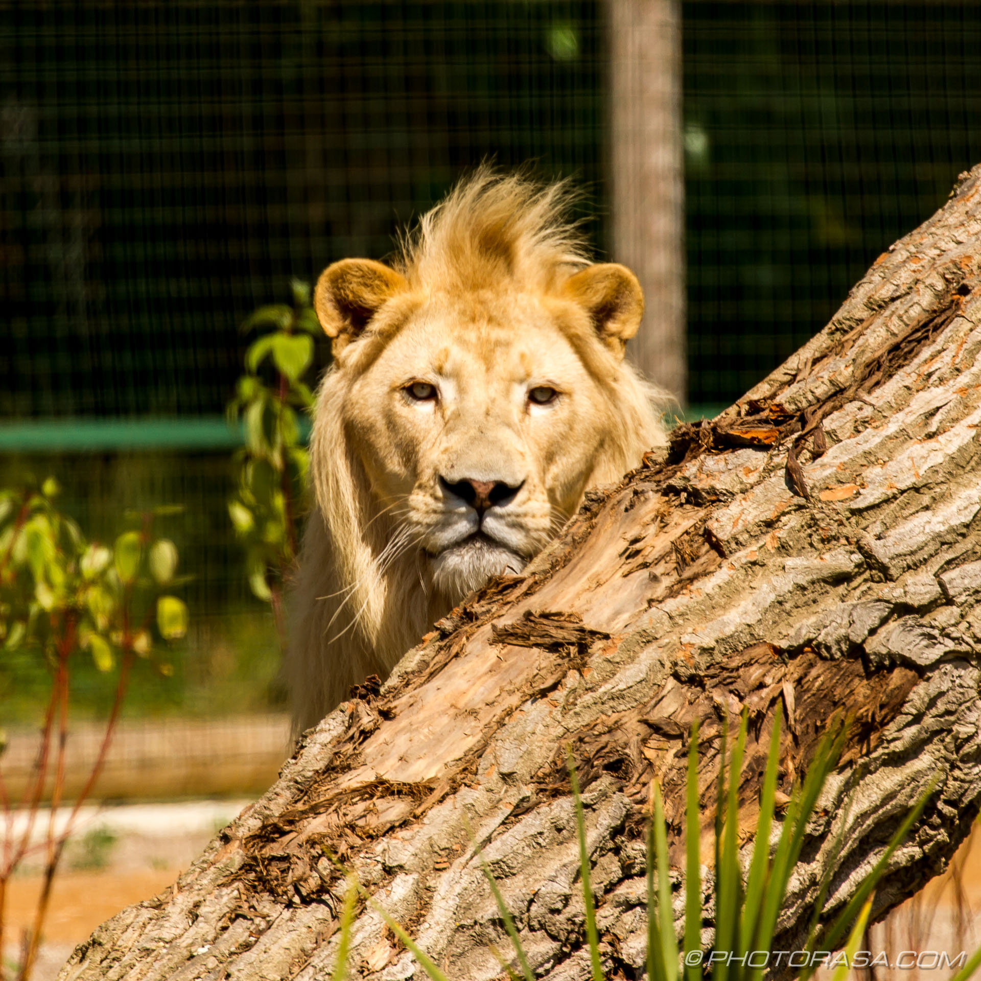 http://photorasa.com/white-lion/white-lion-looking-over/