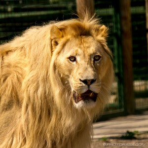white lion mane