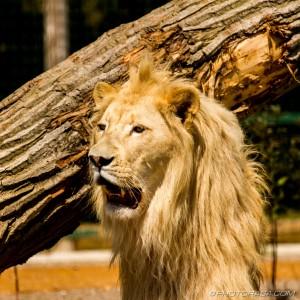white lion showing teeth