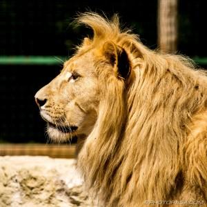 white lion side view