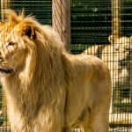 white lion standing and looking