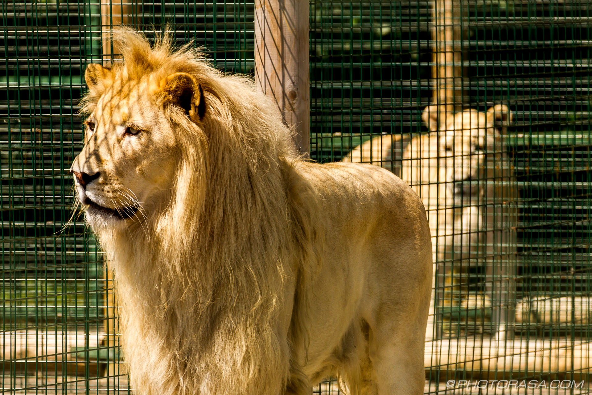 http://photorasa.com/white-lion/white-lion-standing-and-looking/