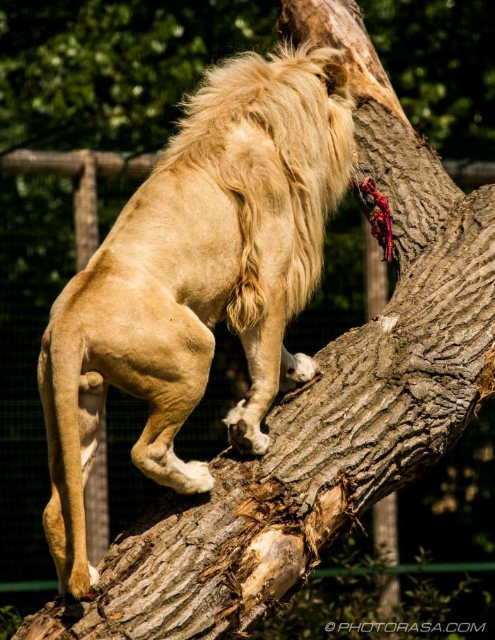 white lion up a tree