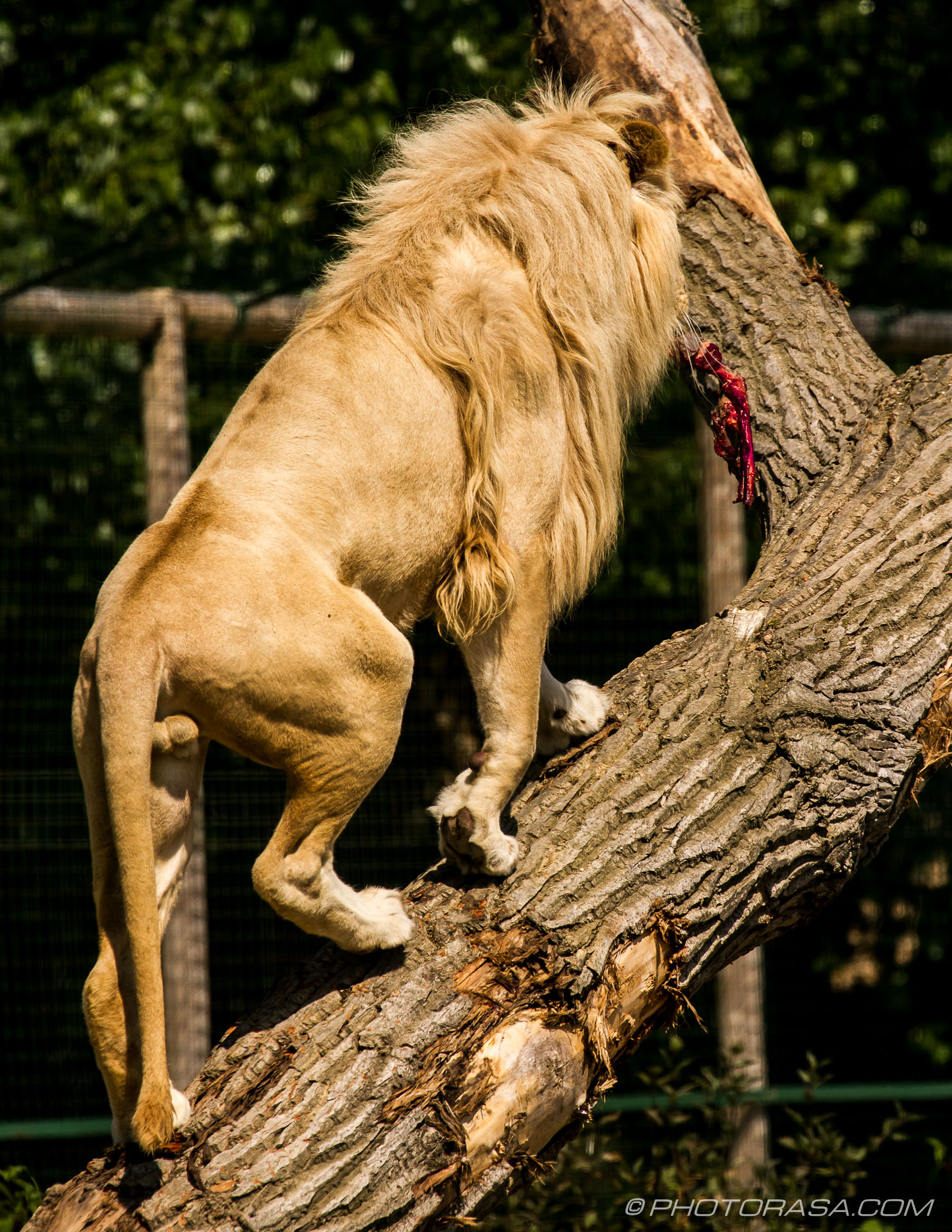http://photorasa.com/white-lion/white-lion-up-a-tree/