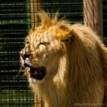 white lion yawning