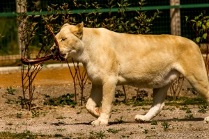 white lioness carrying her food away