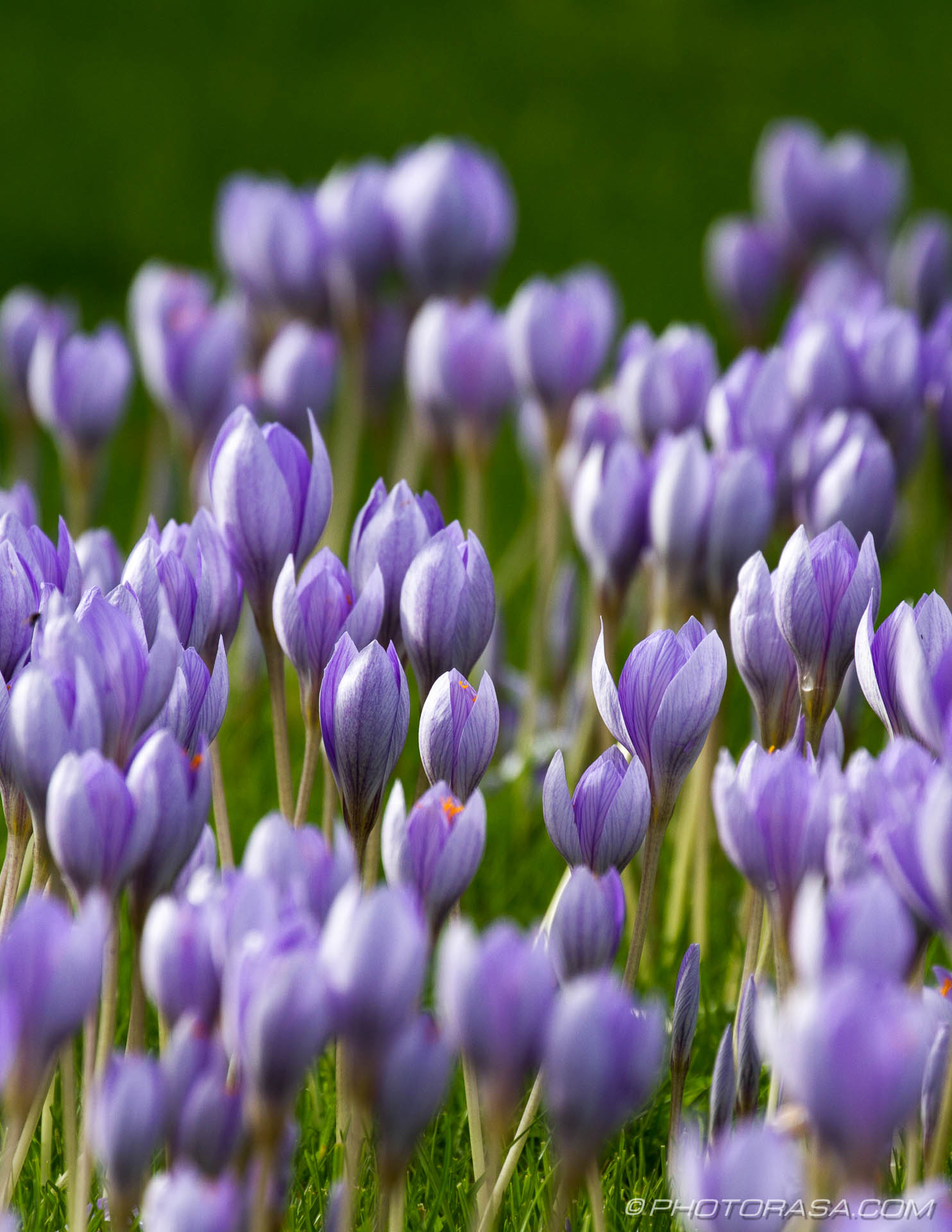 http://photorasa.com/purple-autumn-crocuses/autumn-crocuses/
