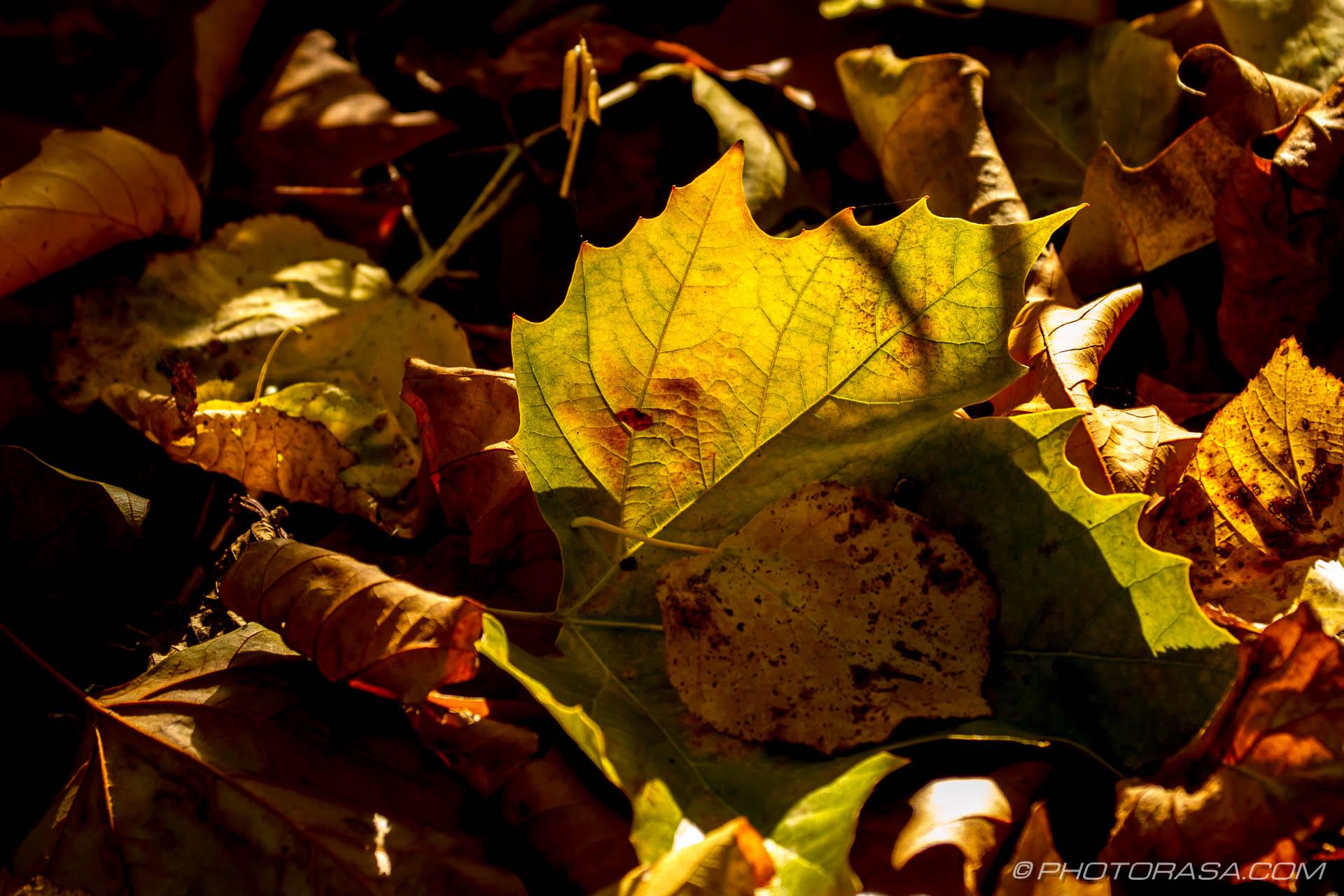 http://photorasa.com/autumn-leaves/autumn-leaves-in-sunlight-2/