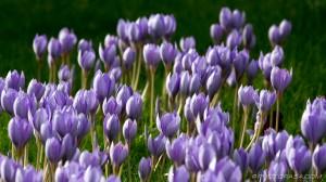broad shot of violet crocuses