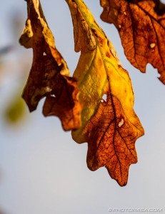 brown and yellow oak leaves