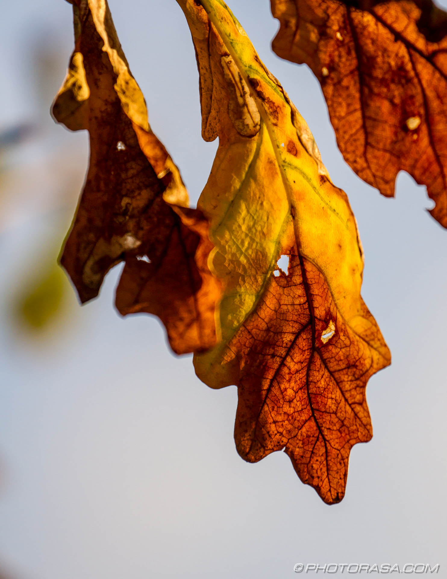 http://photorasa.com/autumn-leaves/brown-and-yellow-oak-leaves/