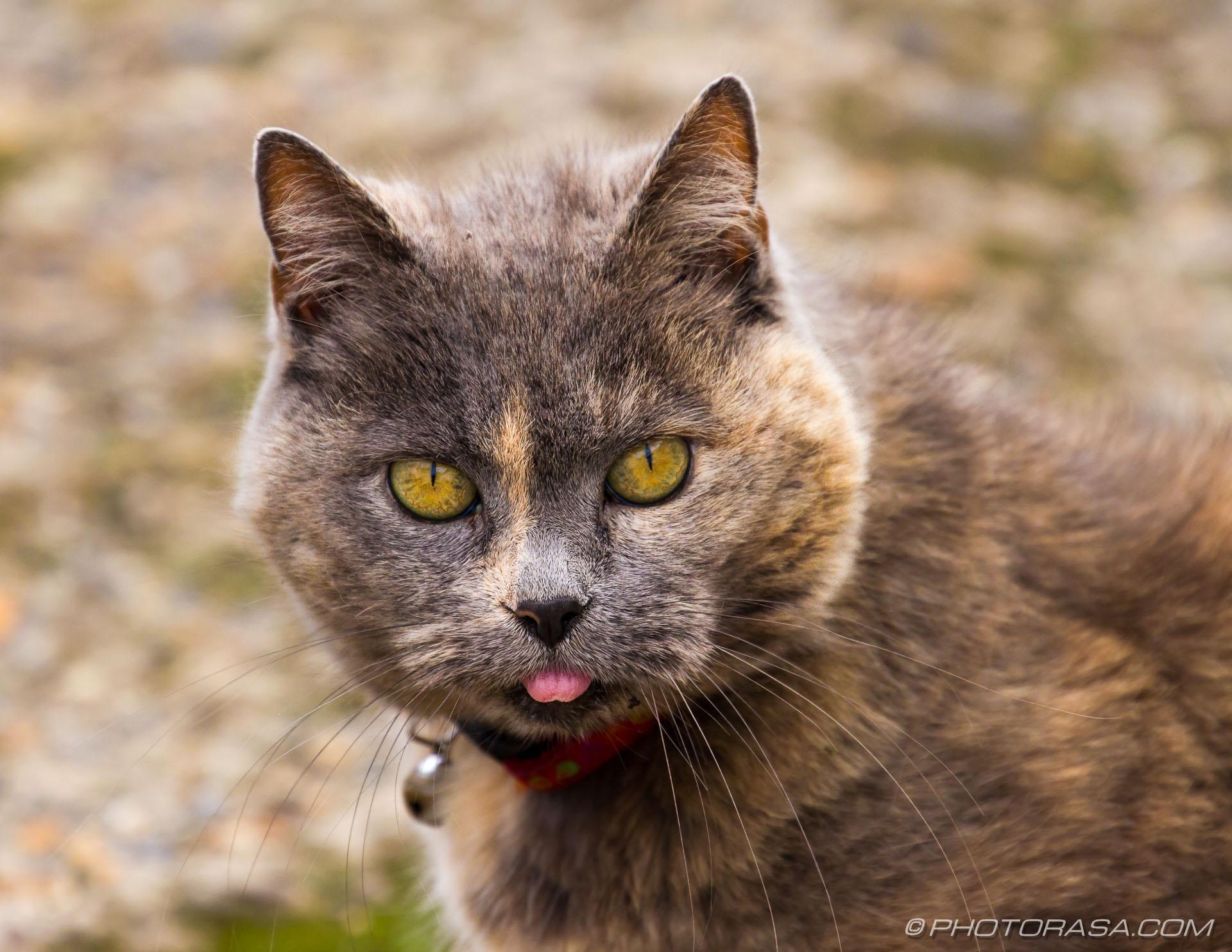 http://photorasa.com/grey-ginger-moggy/grey-ginger-cat/