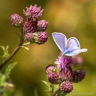 common blue butterfly and purple thistle flowers