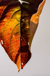 curled leaf with green,yellow,red and brown tones