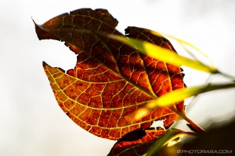damaged brown autumn dogwood leaf at sunset