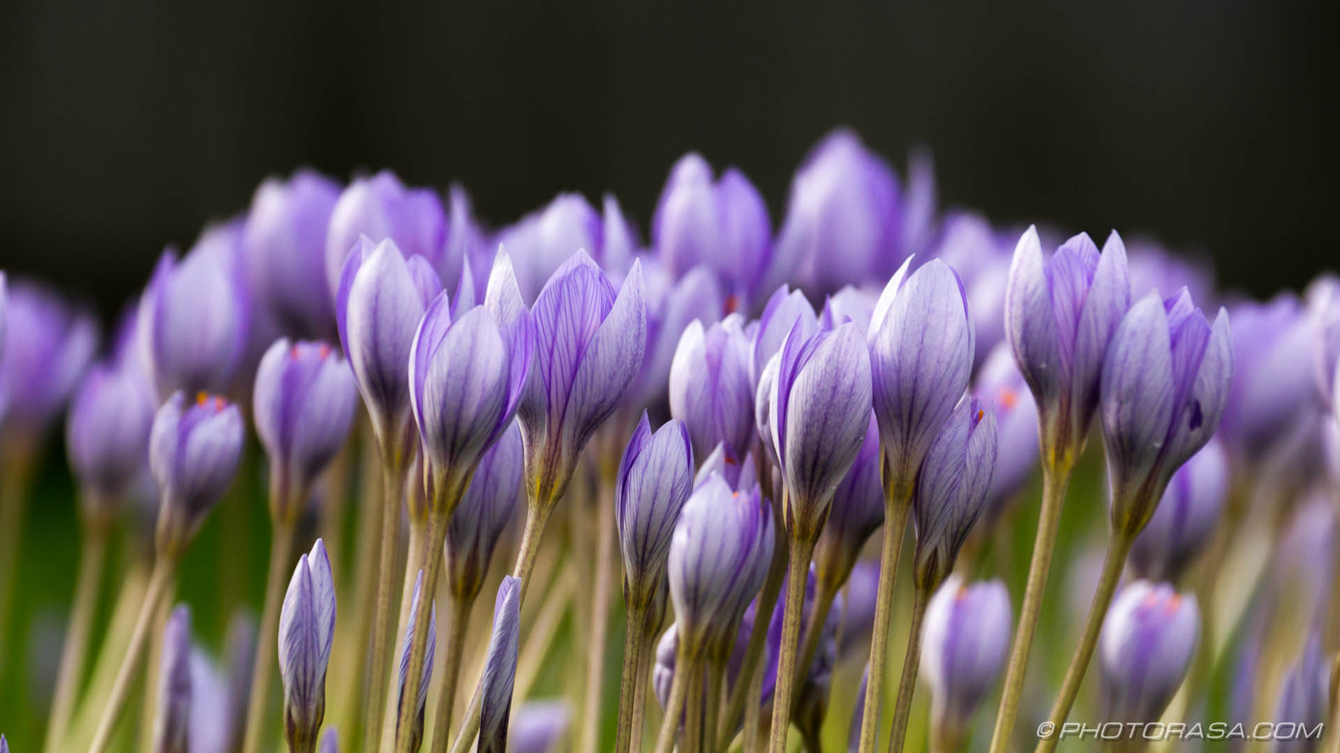 http://photorasa.com/purple-autumn-crocuses/dark-veins-from-the-side/