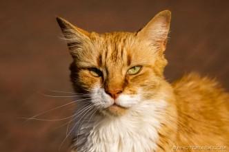 ginger tabby face