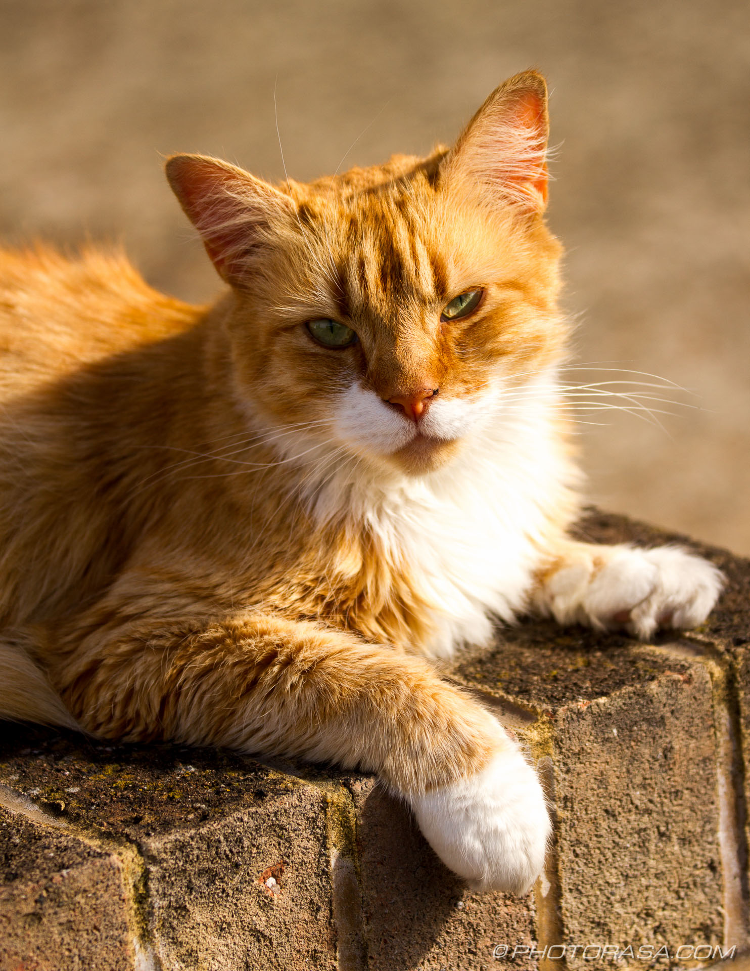 http://photorasa.com/ginger-tabby-cat-suburbia/ginger-tabby-sitting-on-a-wall/