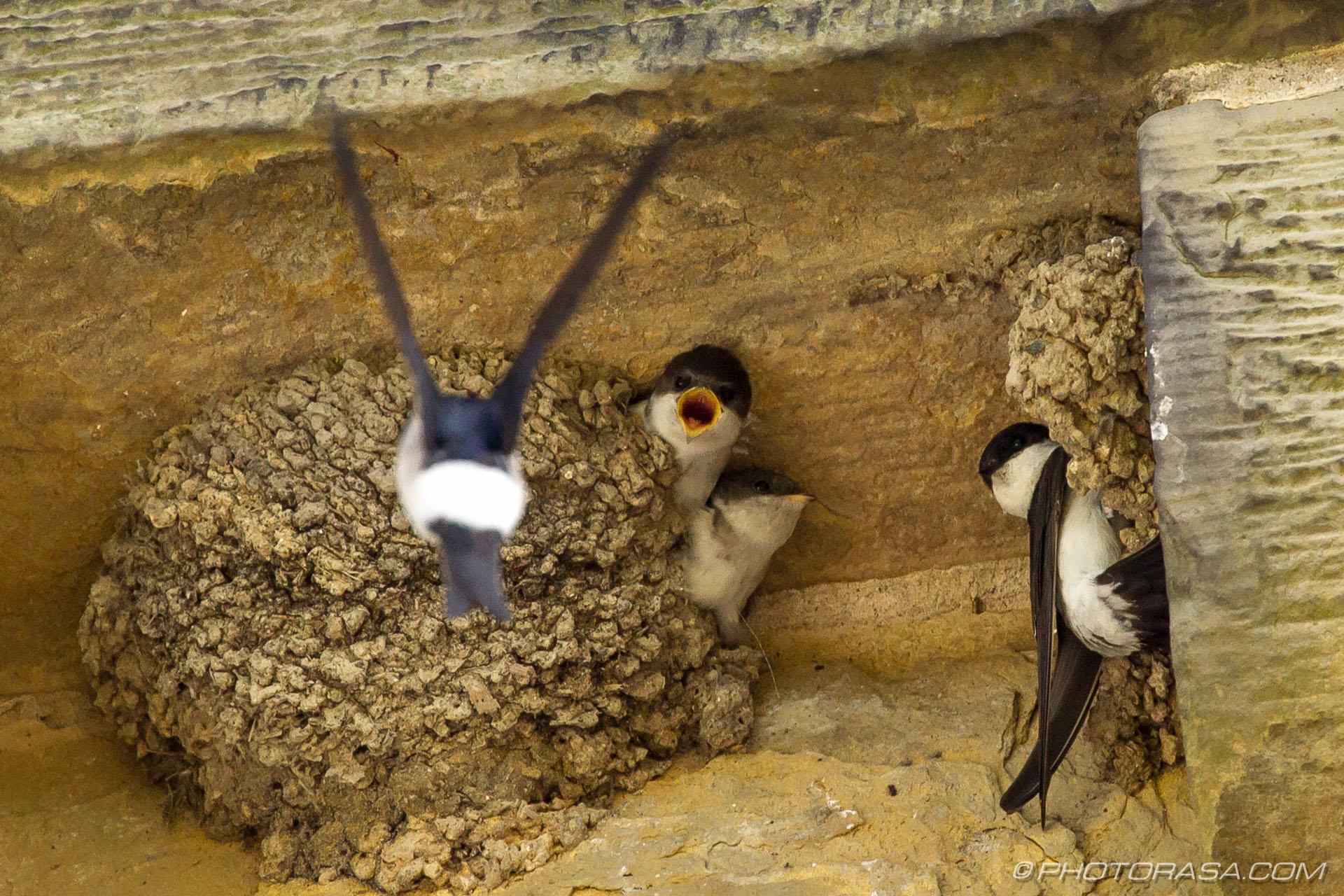 http://photorasa.com/family-house-martins-nesting/here-comes-mum/