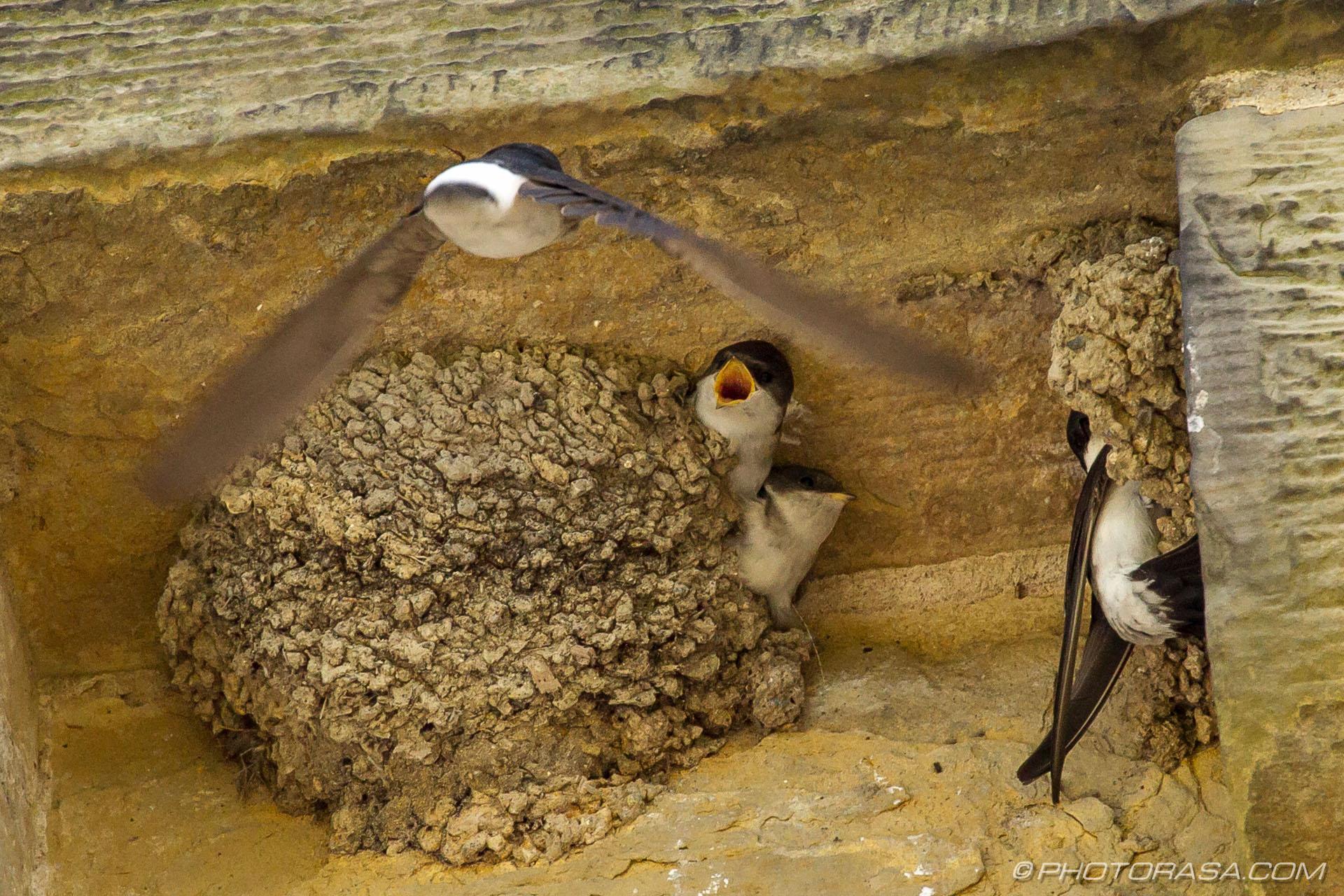 http://photorasa.com/family-house-martins-nesting/housemartin-returning-to-family-and-nest-in-midflight/